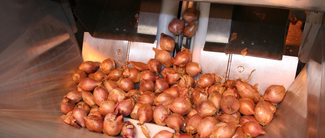 onion-1