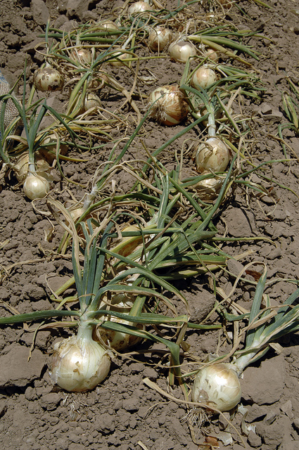 The Impact of the Summer Onion Shortage Expected to Hit Early Next Year
