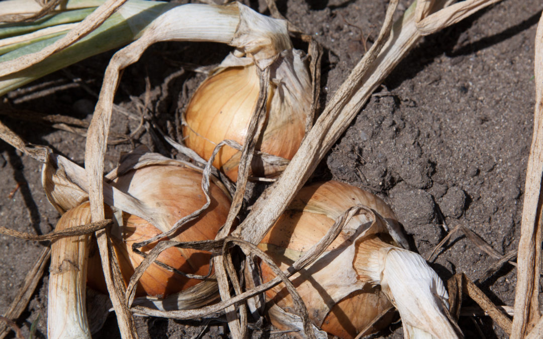 2018 UK heatwave causes onion shortage, what is the solution?