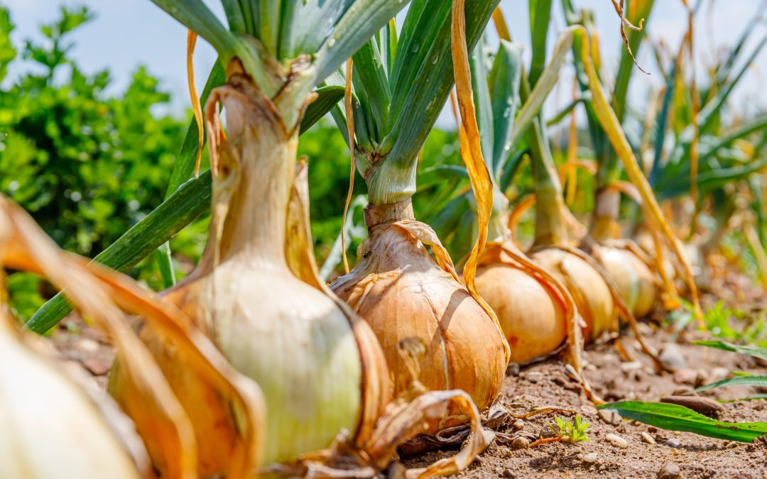 M&P's Onion Peeling machines are the key to an environmentally friendly manufacturing process